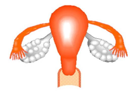 通常の卵巣